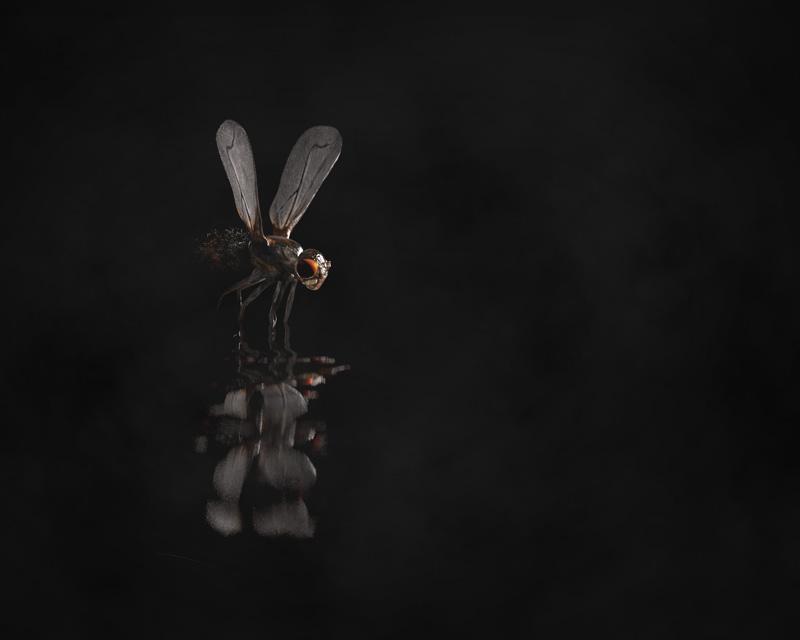 http://boucard.laurent.free.fr/images/housefly.jpg